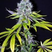 Yummy Feminised Cannabis Seeds