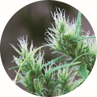 CBD Haze Auto Regular Cannabis Seeds