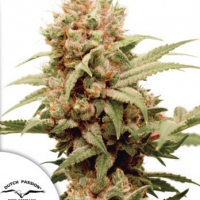 CBG Force Feminised Cannabis Seeds | Dutch Passion
