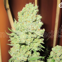 Channel + Feminised Cannabis Seeds   Medical Seeds