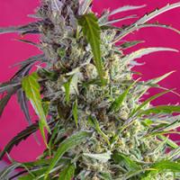 Crystal Candy Auto Feminised Cannabis Seeds | Sweet Seeds