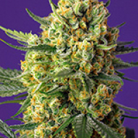 Crystal Candy XL Auto Feminised Cannabis Seeds | Sweet Seeds
