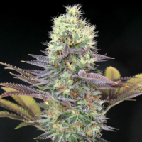 Cali Bay Dream Feminised Cannabis Seeds | Garden of Green