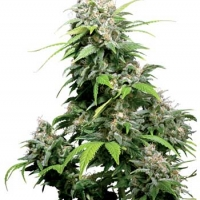 California Indica Regular Cannabis Seeds | Sensi Seeds
