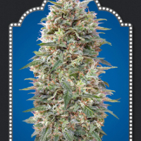 California Kush Feminised Cannabis Seeds | OO Seeds