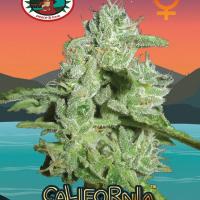 California Orange Cheese Feminised Cannabis Seeds | Big Buddha Seeds