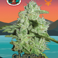 California Orange Cheese Feminised Cannabis Seeds | Big Buddha Seeds