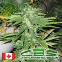Bunker Bud Regular Cannabis Seeds | Canadian Bred Seeds