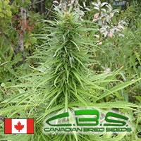Early Sativa Regular Cannabis Seeds