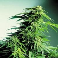 CBS Seeds Hindu Kush Cannabis Seeds
