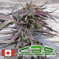 Lethal Purple Regular Cannabis Seeds