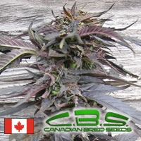 Lethal Purple Regular Cannabis Seeds