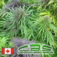 Madame Poison Regular Cannabis Seeds