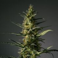 Candida Feminised Cannabis Seeds | MM Genetics