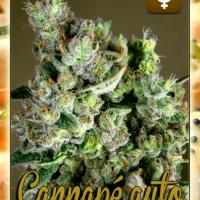 Cannape Auto Feminised Cannabis Seeds | Rockwell Seeds