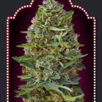 Caramel Kush Feminised Cannabis Seeds | OO Seeds