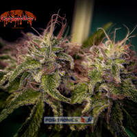 Caramel Ice Feminised Cannabis Seeds | Positronics