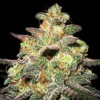 Caramella Auto Feminised Cannabis Seeds | Expert Seeds