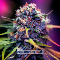 CBD Caramel Ice Feminised Cannabis Seeds | Positronics