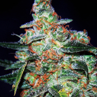 Cheese Auto Feminised Cannabis Seeds | Expert Seeds