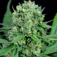 Cheese CBD Feminised Cannabis Seeds - Dinafem Seeds