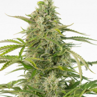 Cheese CBD Auto Feminised Cannabis Seeds - Dinafem Seeds