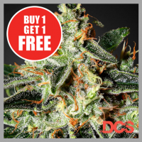 Cheese Feminised Cannabis Seeds | Discount Cannabis Seeds