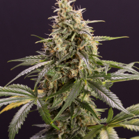 Chem-Bomb Auto Feminised Cannabis Seeds | Humboldt Seeds Organisation