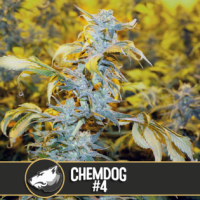 Chemdog #4 Feminised Cannabis Seeds | Blim Burn America