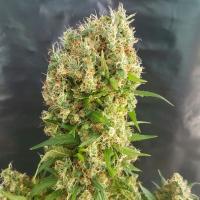 Chemdog Gorilla Feminised Cannabis Seeds | Expert Seeds