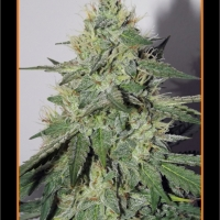 Chemdogging Auto Feminised Cannabis Seeds