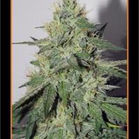 Chemdogging Auto Feminised Cannabis Seeds