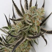 Chernobyl Regular Cannabis Seeds | TGA Seeds
