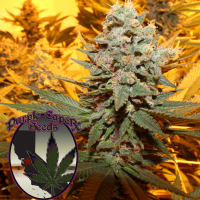 Cherry Cake Regular Cannabis Seeds | Purple Caper Seeds
