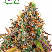 Cherry Kiss Feminised Cannabis Seeds - Anesia Seeds