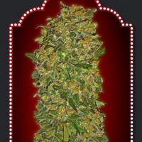Chocolate Kush Feminised Cannabis Seeds | OO Seeds