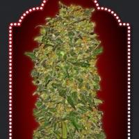 Chocolate Kush Feminised Cannabis Seeds | OO Seeds