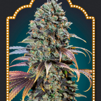 Chocolate Cream Feminised Cannabis Seeds | OO Seeds