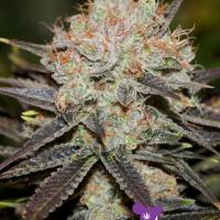 Chocolate Haze Feminised Cannabis Seeds - Anesia Seeds