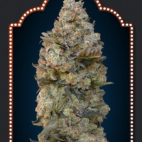 Chocolate Skunk Feminised Cannabis Seeds | OO Seeds