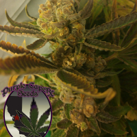 Chocolate Chip Cookie Regular Cannabis Seeds | Purple Caper Seeds