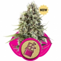 Chocolate Haze Feminised Cannabis Seeds | Royal Queen Seeds