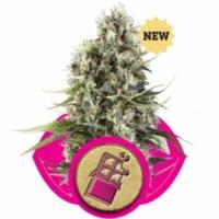 Chocolate Haze Feminised Cannabis Seeds | Royal Queen Seeds