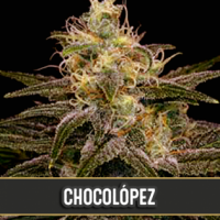 Chocolopez Feminised Cannabis Seeds | Blim Burn Seeds