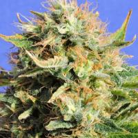 Chronic Lights Feminised Cannabis Seeds | Original Sensible Seeds