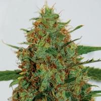 Cinderella 99 Feminised Cannabis Seeds