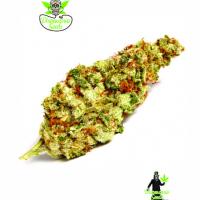 Cinderella Punch Feminised Cannabis Seeds | Dispensario Seeds