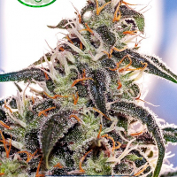 Claustrum Feminised Cannabis Seeds | Positronics
