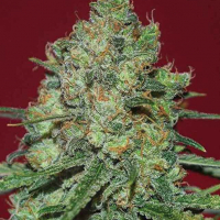 Clinical White CBD Feminised Cannabis Seeds | Expert Seeds