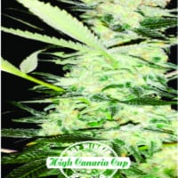Clinical Feminised Cannabis Seeds | Dispensario Seeds